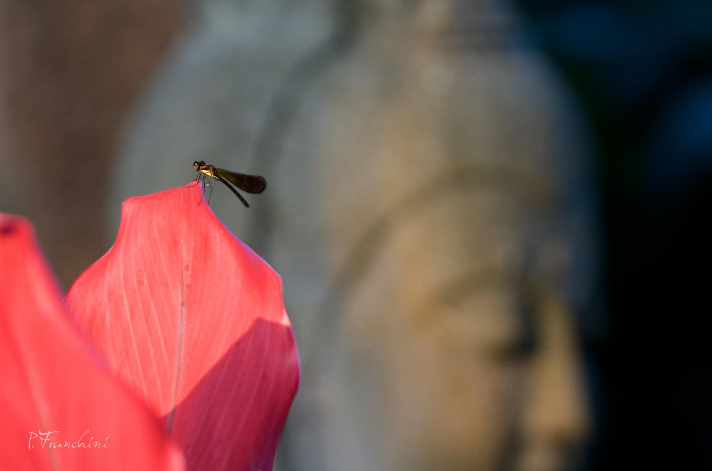 Libellule-bouddha