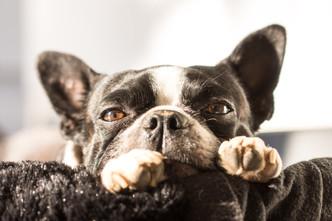 Figaro le boston terrier en mode paisitude