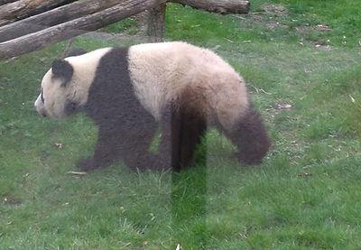 Les Pandas Géants au Beauval