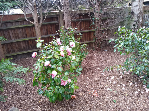 Enjoy the new camellias in a tranquil spot