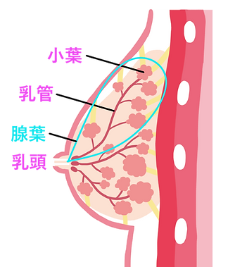 mammary (5).png