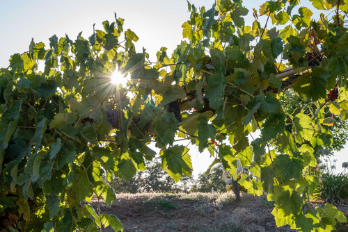 Rancho Roble Sun Between Vines