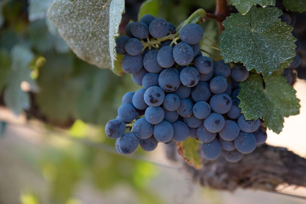 Rancho Roble Vine Berries