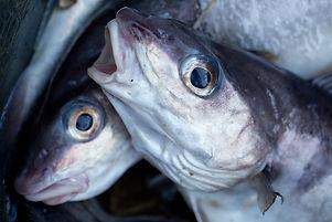 Haddock caught in the Barents Sea.jpg