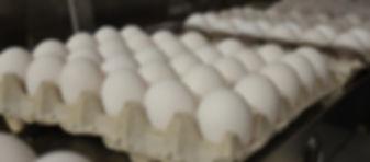 White Egg, Eggs for Sale