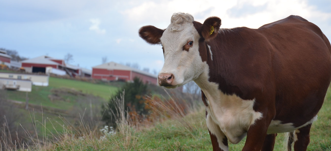 Hereford, Brey's Egg Farm, Beef for Sale
