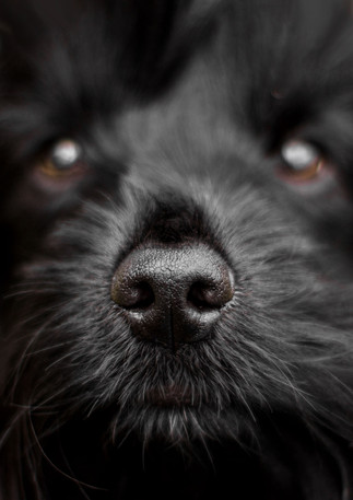 Puppy nose close up