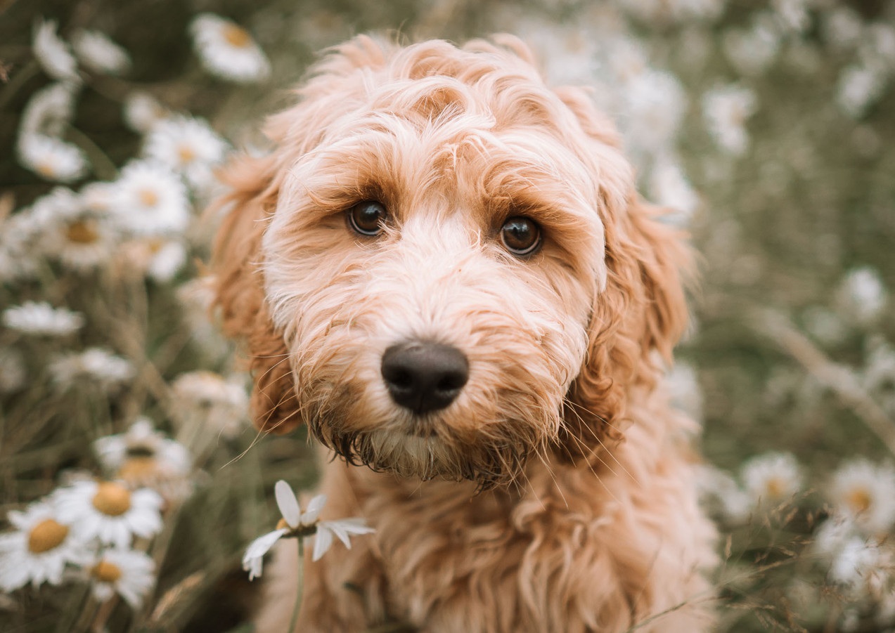 Cockapoo In Flowers, Sussex Pet Photography