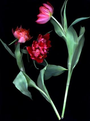 Tulips II 2002