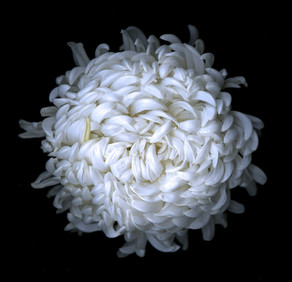 Chrysanthemum 2009