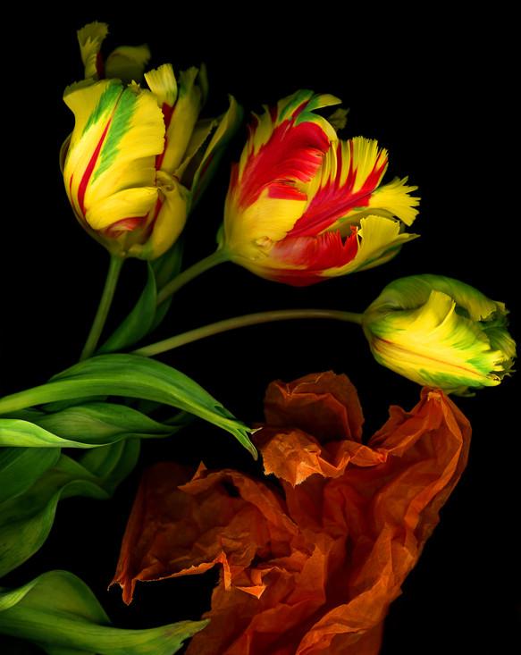 Parrott Tulips 2002