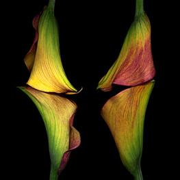Calla Lilies II 2003