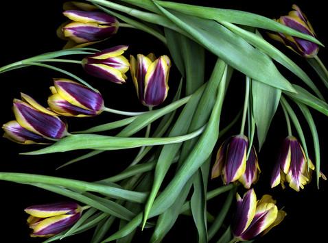 Tulips V 2002
