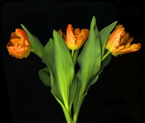 Parrot Tulips 2016