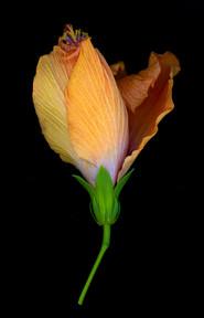 Hibiscus 2016