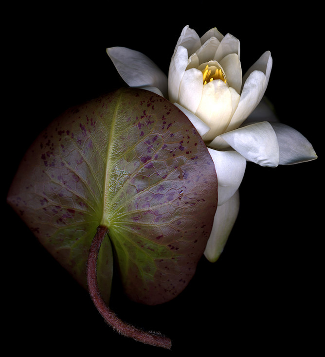 Water Lily Leaf & Flower