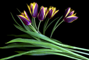 Tulips IV 2002