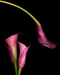 Calla Lilies III 2003