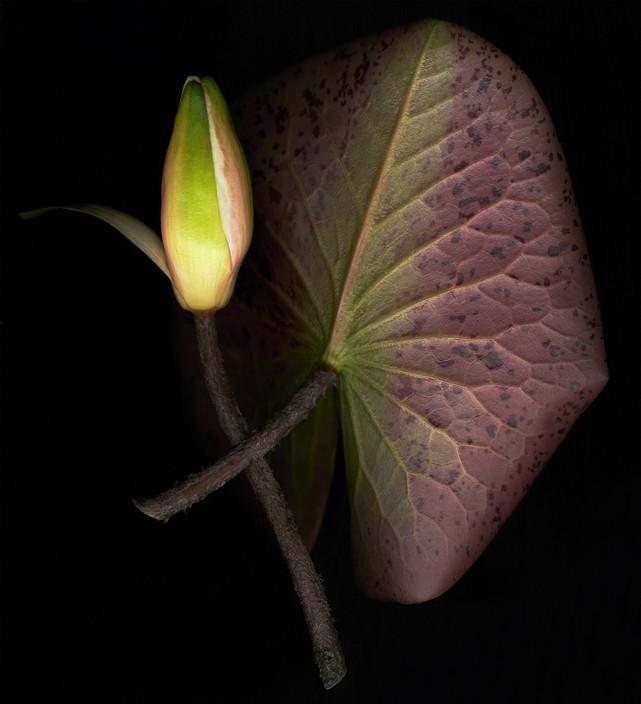 Water Lily Leaf & Bud