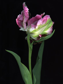 Parrott Tulip 2016