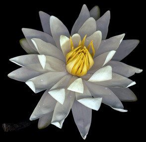 Water Lily 2003