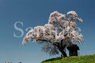 Fukushima_sakura_36.jpg