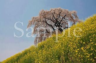 Fukushima_sakura_27.jpg