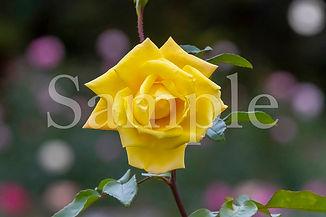 Rose_13.jpg