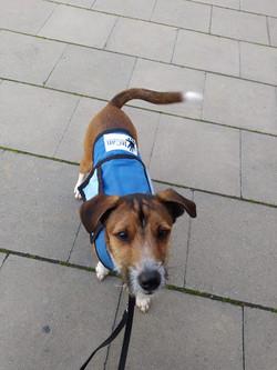 perro de intervención asistida con perro en formación
