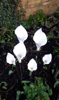 White Calla Lillies Ceramic Flowers Garden Sculptures by Renee Kilburn Ceramics