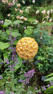 Large Sun Gold Buddleija