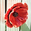 Thumbnail: Wall Hanging Red Poppy