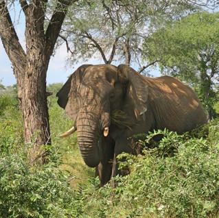 Kruger National Park Elephant.jpg