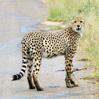 Kruger National Park Cheetah.jpg