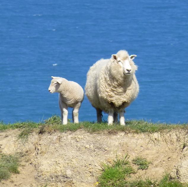 Two lamb.jpg