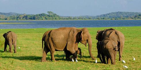 Sri Lanka elephants 2.jpg