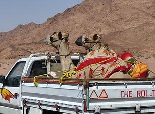 Arabian Harleys.jpg