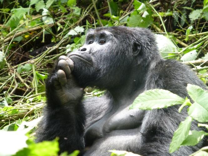 Gorilla Papa