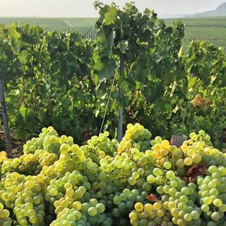 Shampagne Grapes.jpg