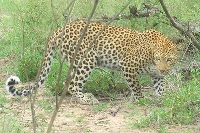 Cheetah in Kruger Park South Africa.jpg