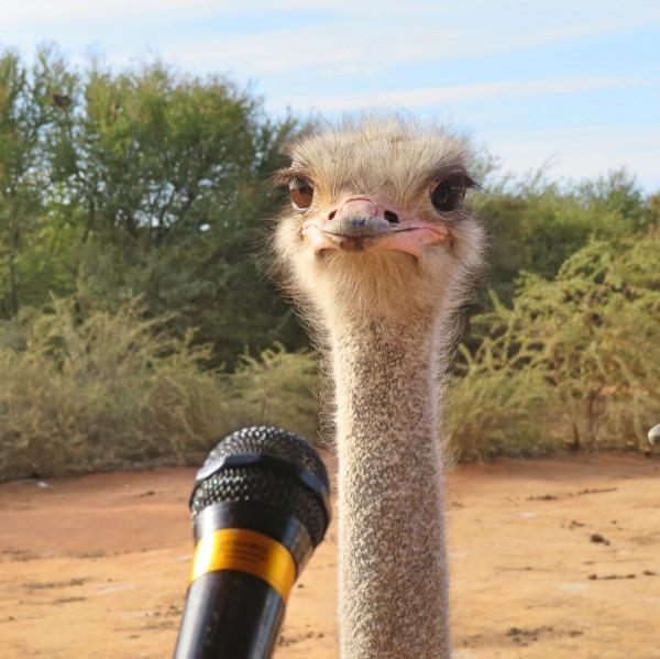 South African ostrich.jpg