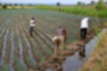 Irrigation of spring onion field in Mubuku Phase 2 Scheme.
