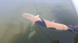 Green Bay Musky Release