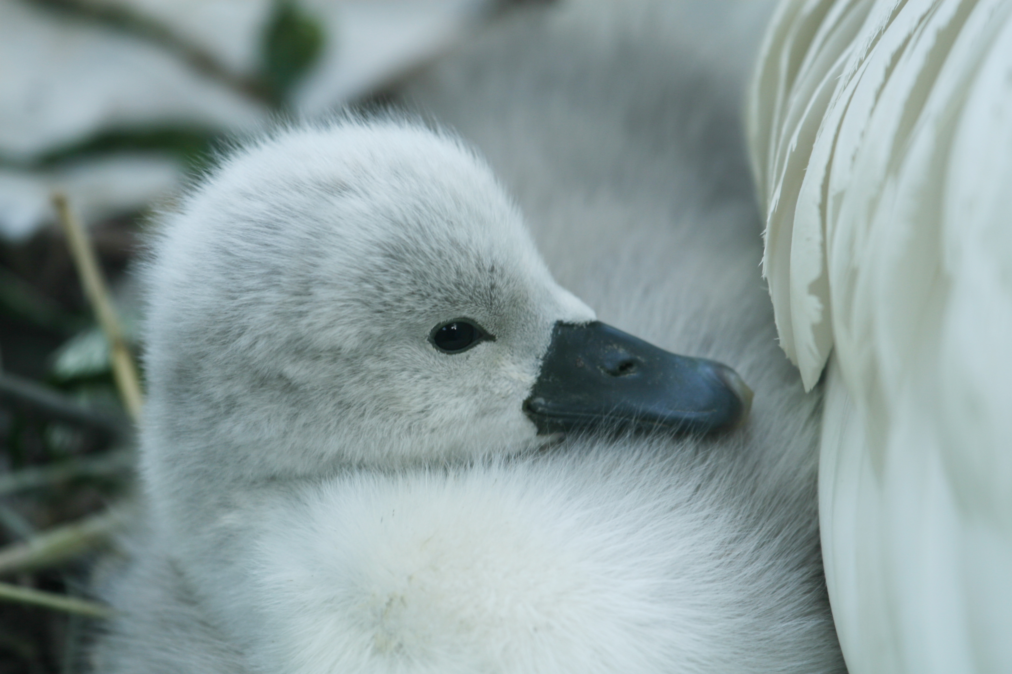 Cygnet peeking out