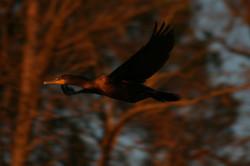 Flying in at dusk