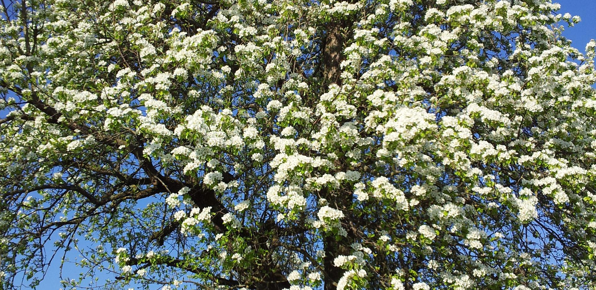 Obstbaumblüte_direkt_hinter_dem_Haus.jpg