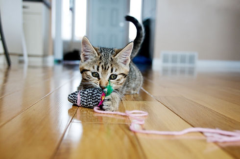 pets-at-home-kitten-playing-with-toy.jpg