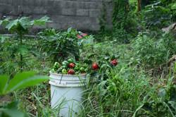 14-La récolte_Poivron