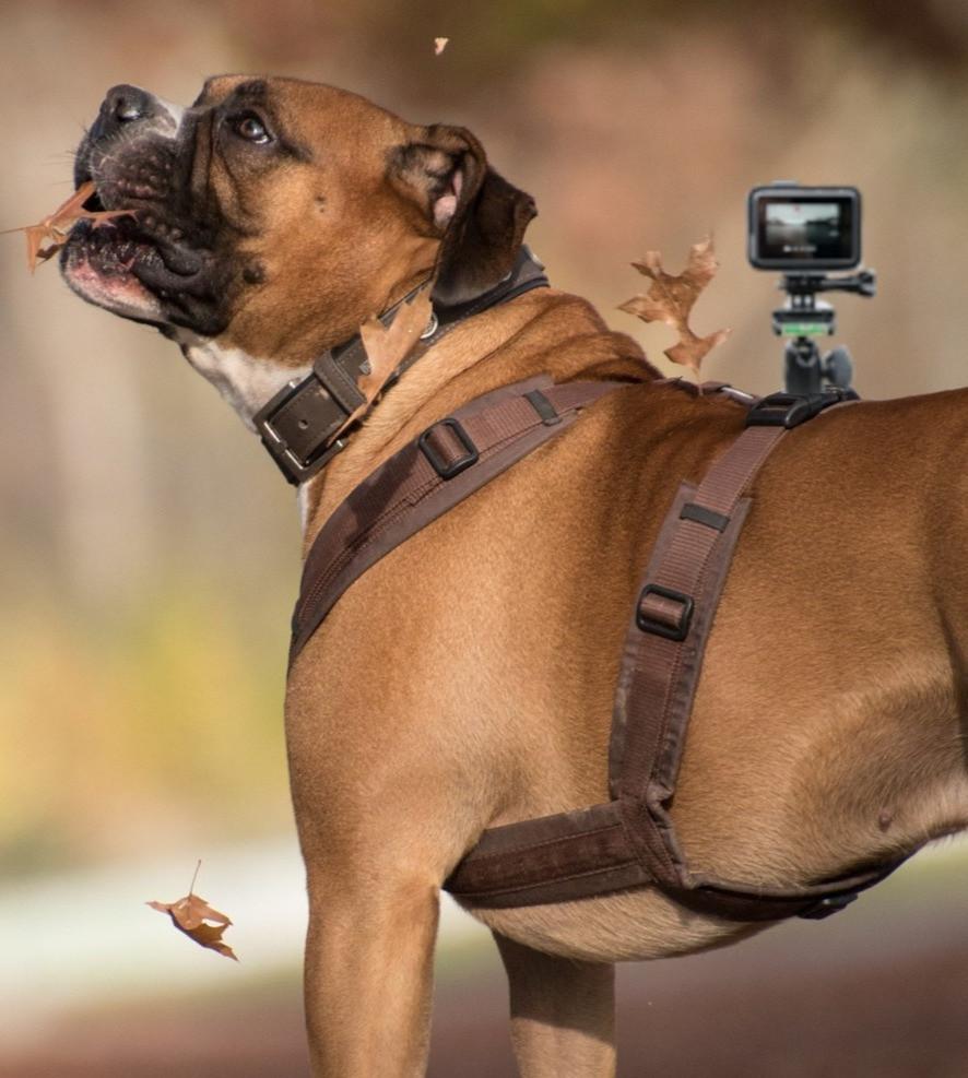 Hund mit Go Pro Geschirr