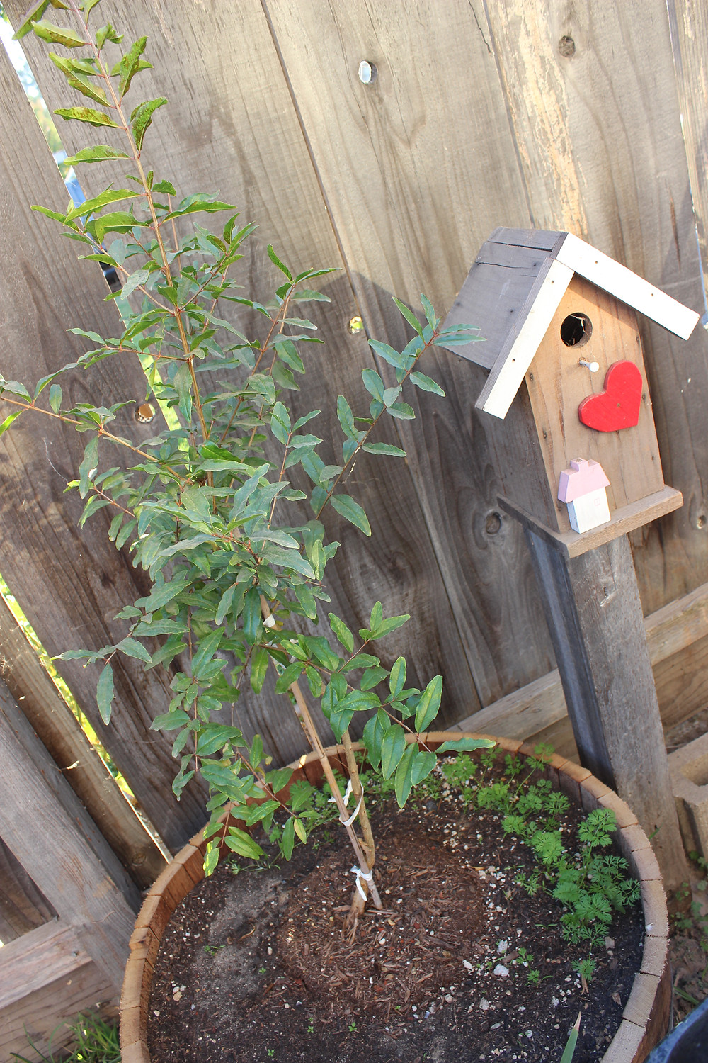 Small pomegranate tree about 4 feet tall, carrots sprouted beneath and my loved bird house accent.